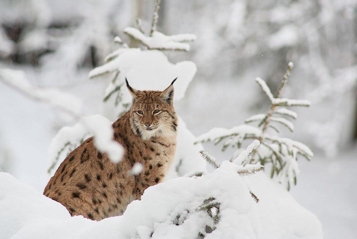 https://m.powiatszczycienski.pl/2021/01/orig/rys-sfotografowany-w-poblizu-jeziora-babant-wielki-zimowa-pora-fotografowac-jest-duzo-latwiej-szczegolnie-kiedy-jest-jest-gleboki-snieg-wtedy-mozna-podejsc-bardzo-blisko-37365.jpg