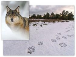 Trop wilka odciśnięty na śniegu. Fot. Hubert Jasionowski
